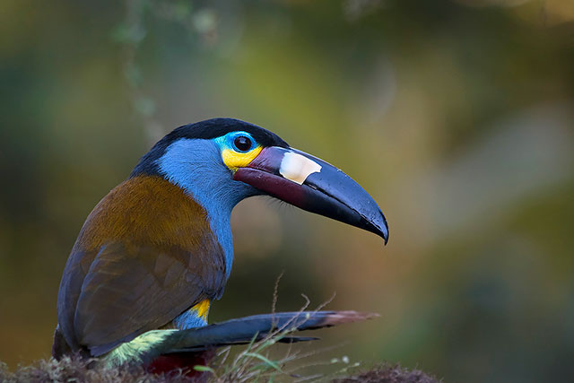 Neoselva-Andigena-laminirostris-Plate-billed.mountain-toucan-Boton-Home