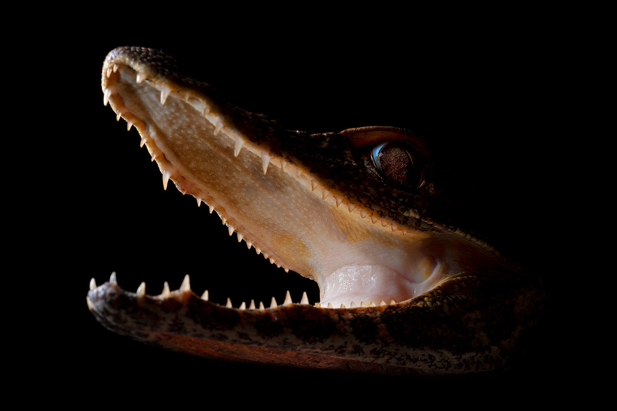 Neoselva-Paleosuchus-trigonatus-Yasuni-Cuyabeno-Sacha-Nampi-Home-Web