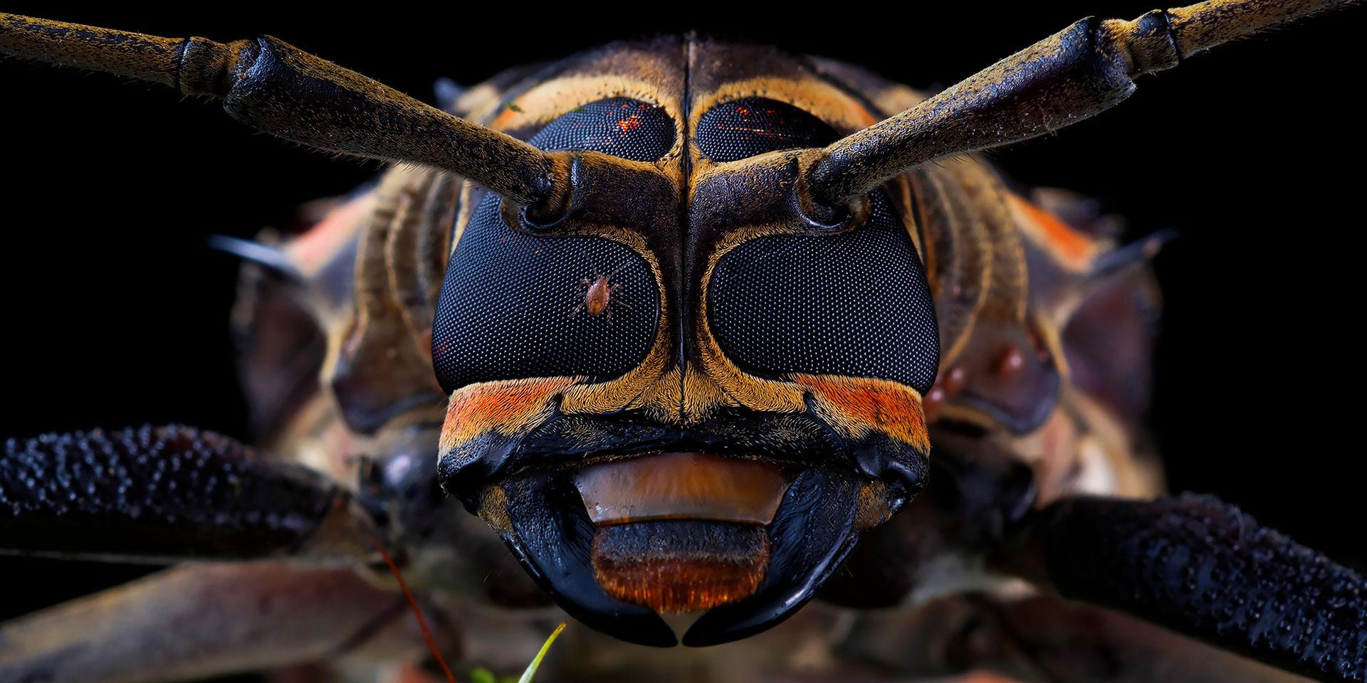 Neoselva-Acrocinus-longimanus-Escarabajo-arlequin-Suamox-Harlequin-beetle-portrait-Tours-Web