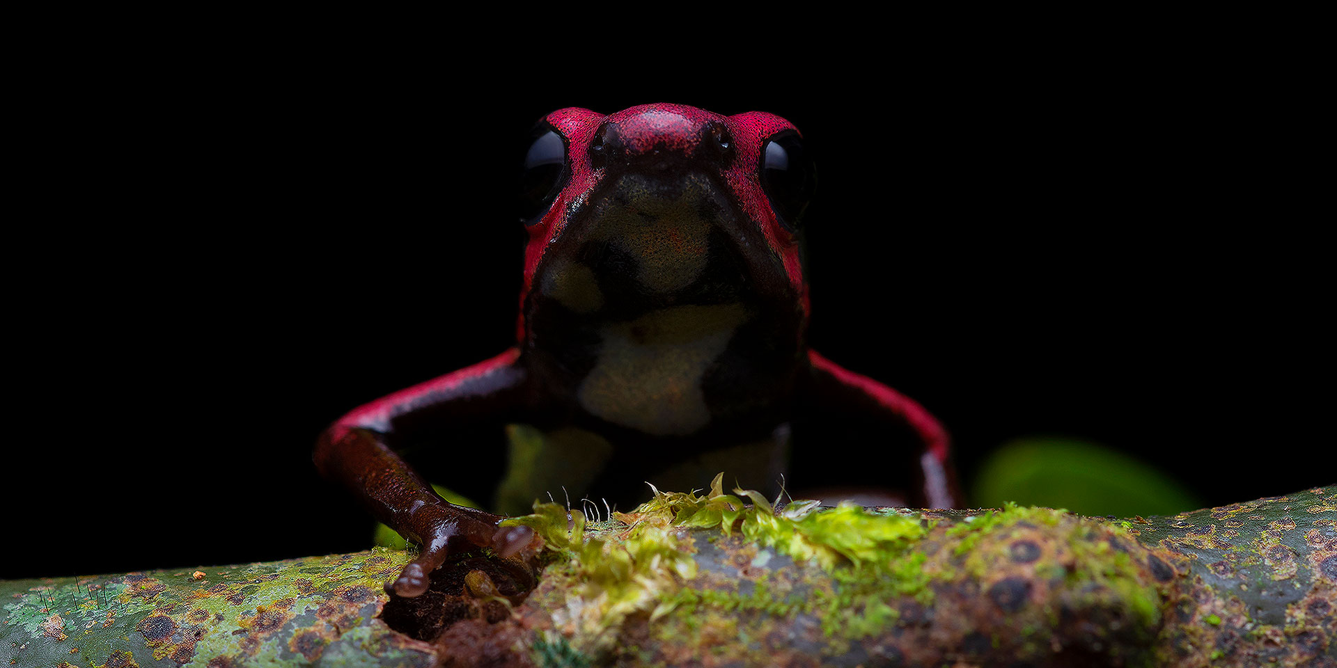 Neoselva-Andinobates-bombetes-Poison-frog-Colombia-Valle-del-Cauca-Dendrobatidae-Herping-Macro-Tour-Web