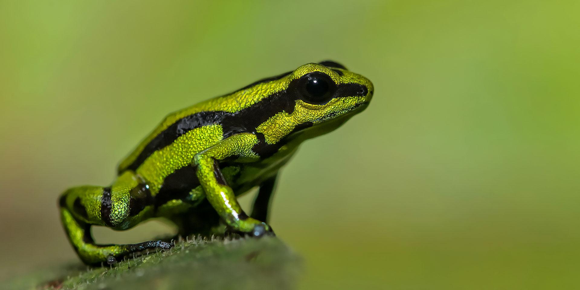 Neoselva-Andinobates-fulguritus-Colombia-Valle-del-Cauca-Dendrobatidae-Herping-Macro-Tour-Web
