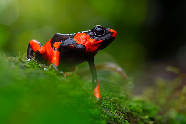 Neoselva-Oophaga-lehmanni-Poison-frog-Colombia-Anchicaya-Dendrobatidae-Herping-Boton
