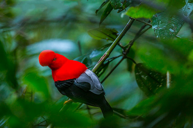 Neoselva-Rupicola-peruviana-Andean-cock-of-the-rock-Ecuador-Birds-Boton-Tours