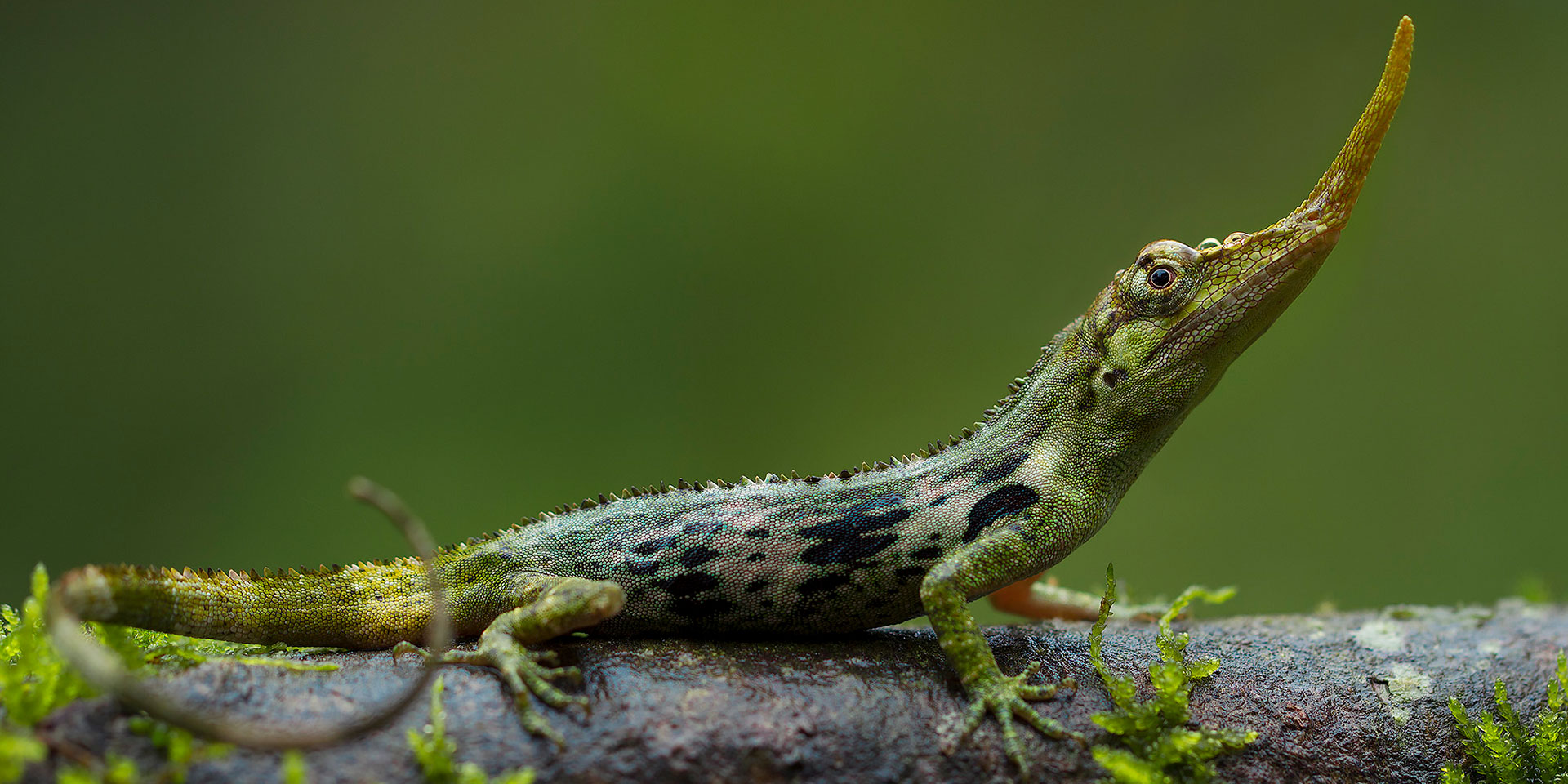 Neoselva-Anolis-proboscis-Ecuador-Portrait-Herping-Website
