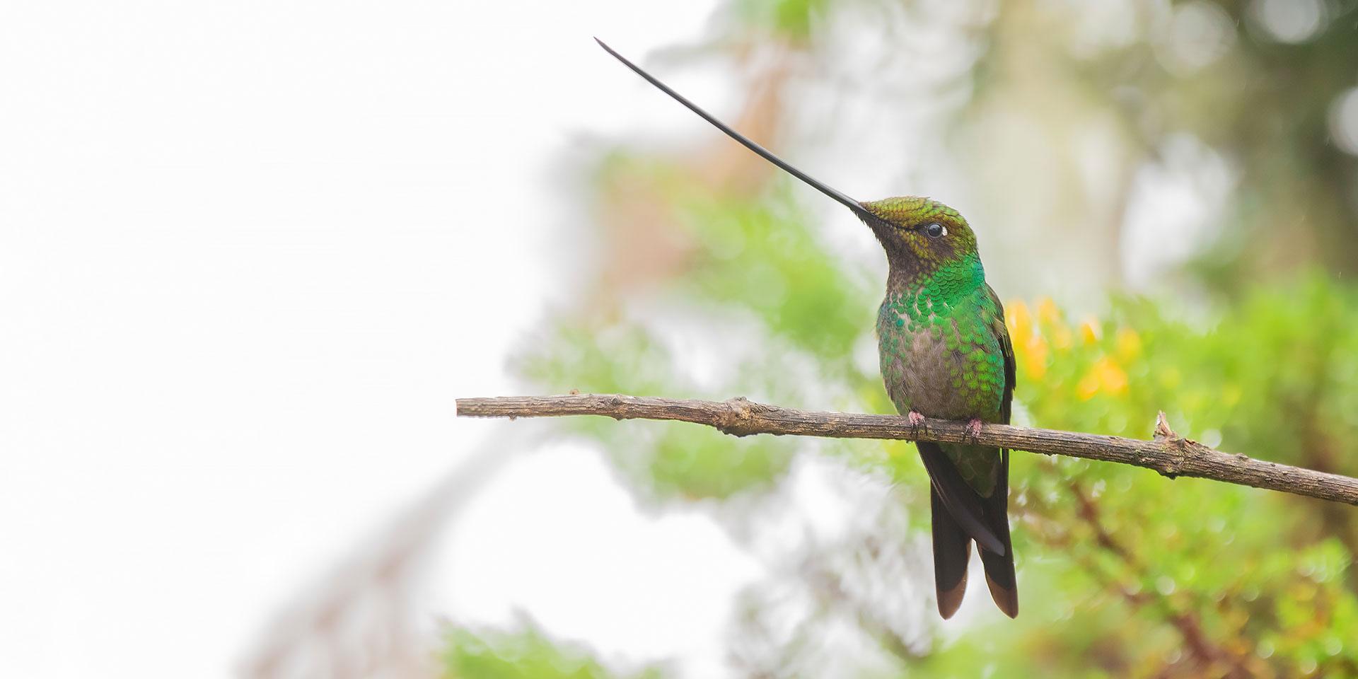 Neoselva-Ensifera-Hummingbird-Andes-tropicales-Birding-Ecuador-Website