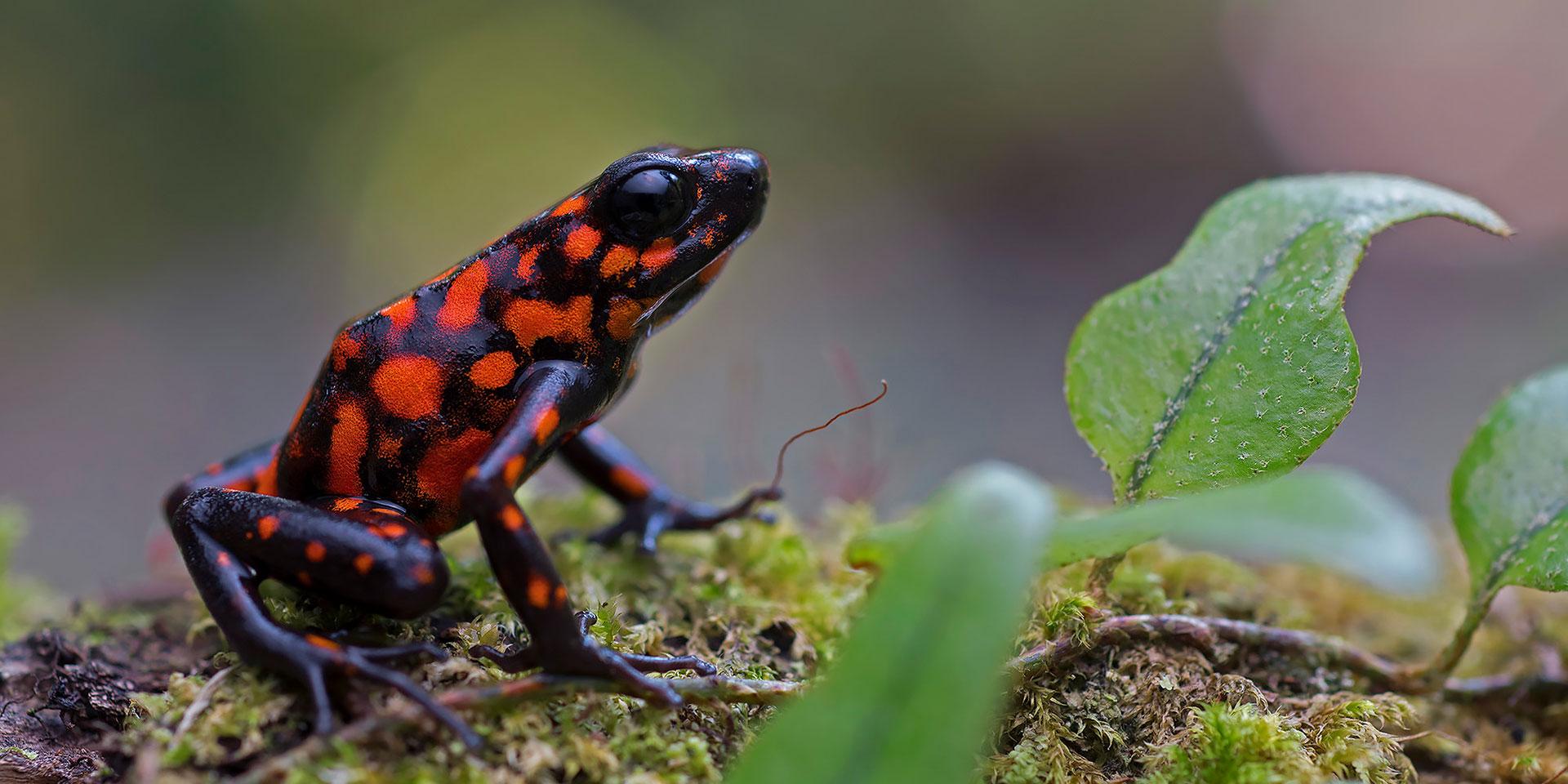 Neoselva-Oophaga-sylvatica-poisonfrog-Choco-Herping-Website