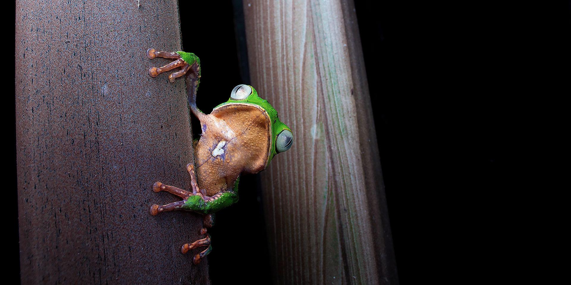 Neoselva-Phyllomedusa-vaillantii-treefrog-Cuyabeno-Amazon-Website