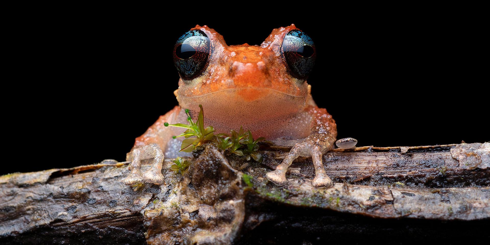 Neoselva-Pristimantis-calcarulatus-Ecuador-Portrait-Herping-Website