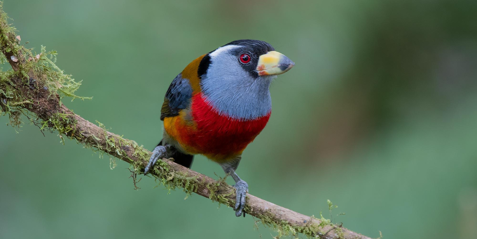 Neoselva-Semnornis-ramphastinus-Birding-Mindo-Website